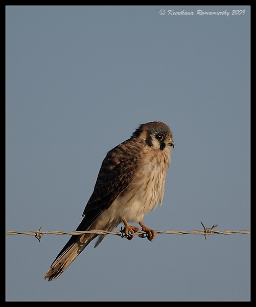 American Kestrel at sunset golden light, Tijuana River Estuary, San Diego County, California, November 2009