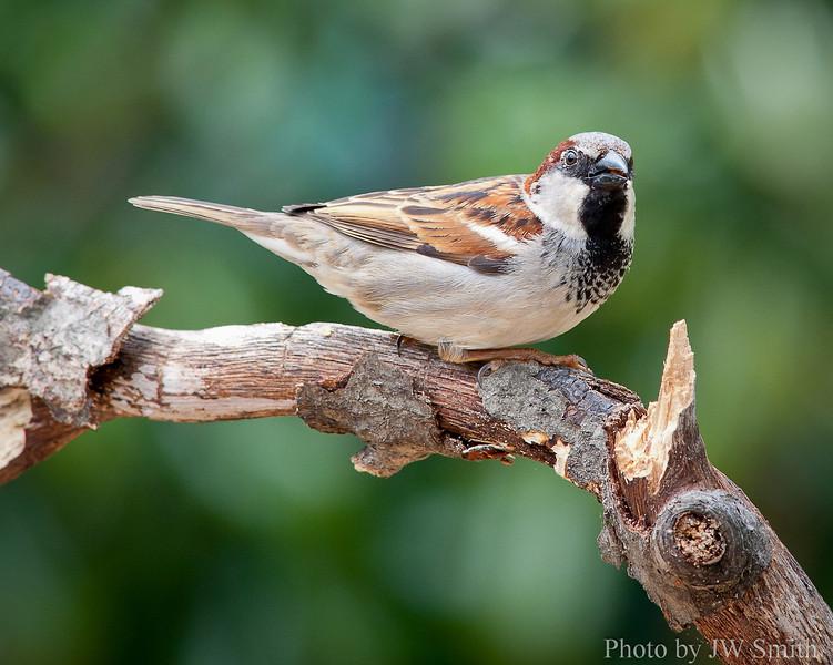 House Sparrow (Invasive Species)