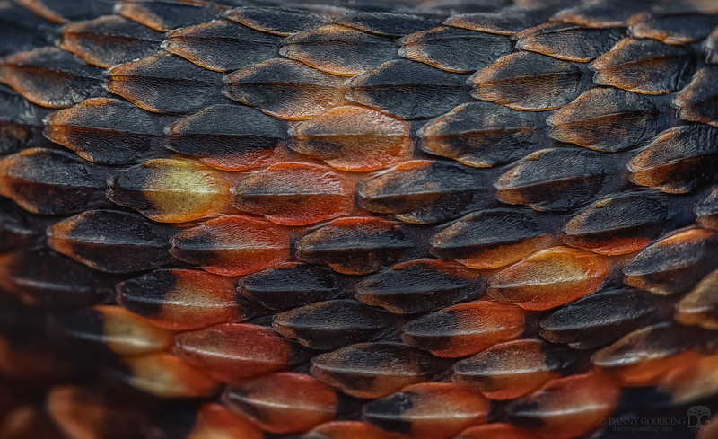 Baby banded watersnake scales closeup