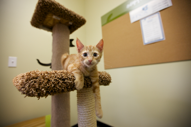 Orange kitty on cat tree