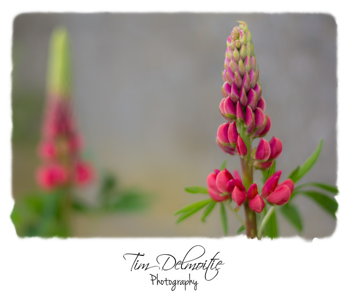Lupinus 'The Red Castle'