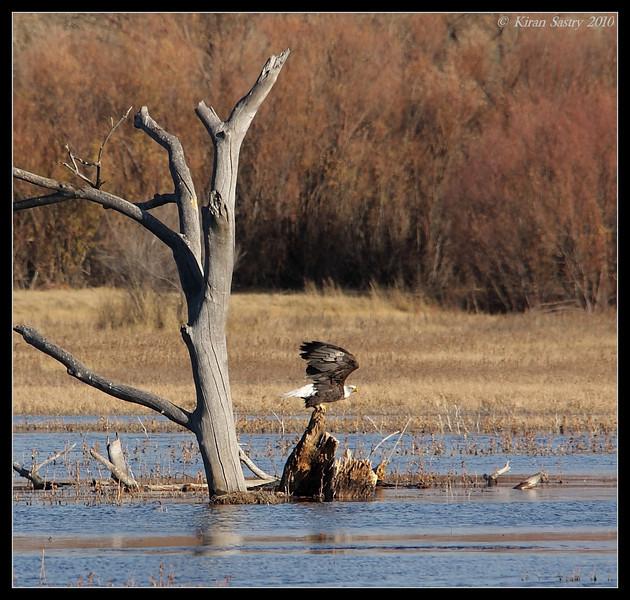 Bald Eagle getting ready for takeoff, Bosque Del Apache, Socorro, New Mexico, November 2010