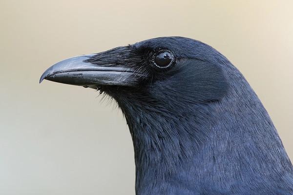 Fish Crow