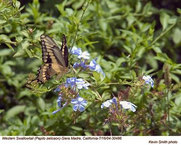 WesternSwallowtail30486.jpg