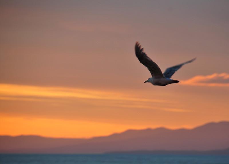 ALS_0268-Sunset-Gull.jpg