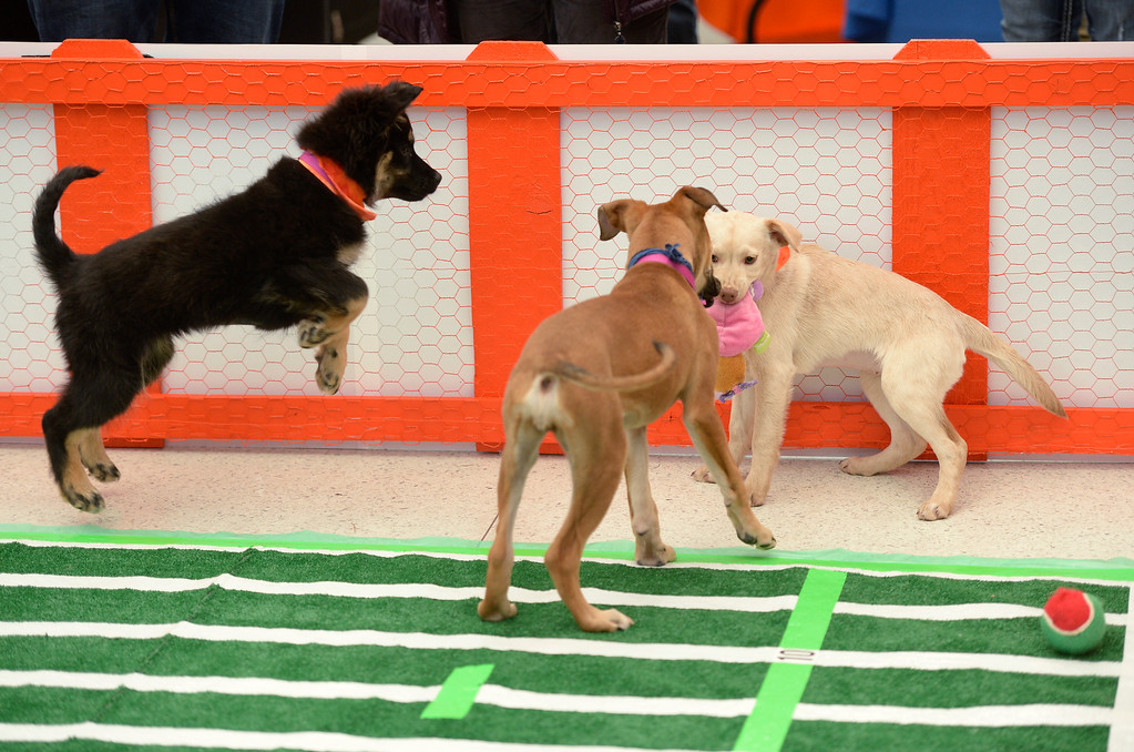. The Denver International Airport hosted the DEN Puppy Bowl in the Jeppesen Terminal  on Friday, February 05, 2016. They invited puppies from the Denver Dumb Friends League to come down and frolic on a miniature football field set up in the center of the main terminal. The puppies drew employees, Broncos fans, and  travelers out to see the cuteness.  (Photo by Cyrus McCrimmon/ The Denver Post)