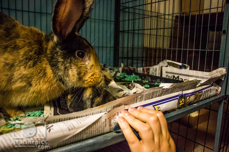 August 16, 2016 12 day old kits visit Daddy Bunny (15).jpg