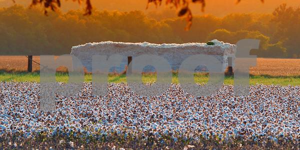 2015 Cotton Harvest