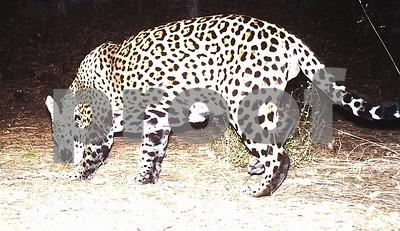 jaguar-photo-captured-on-fort-huachuca-ariz-trailcam