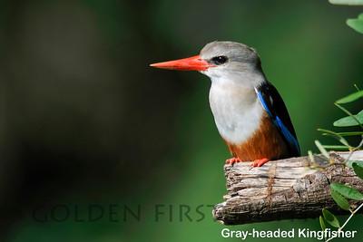 Gray-headed Kingfisher, Kenya