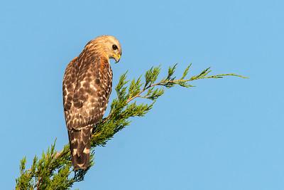 Hawks and Kites