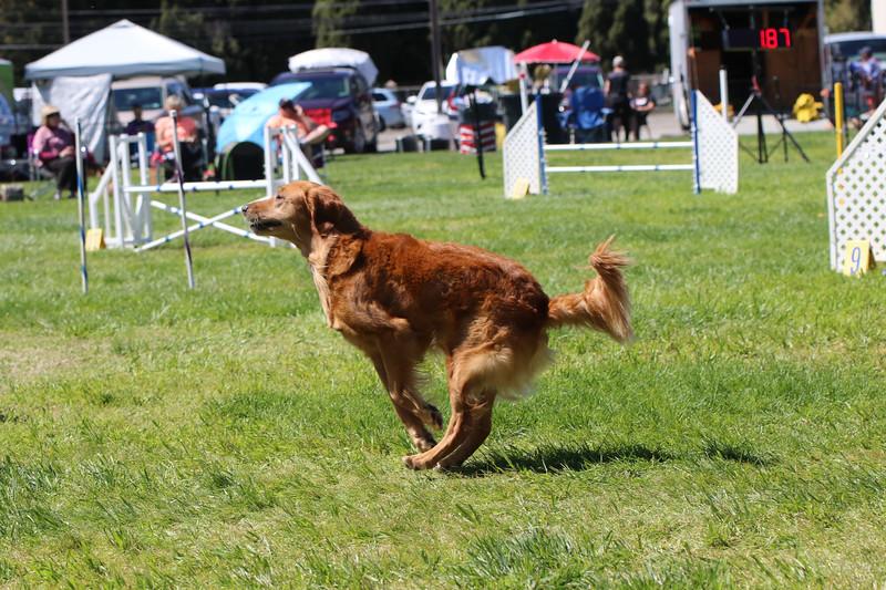 3-31-2018 Shetlant Sheepdog-4337.jpg
