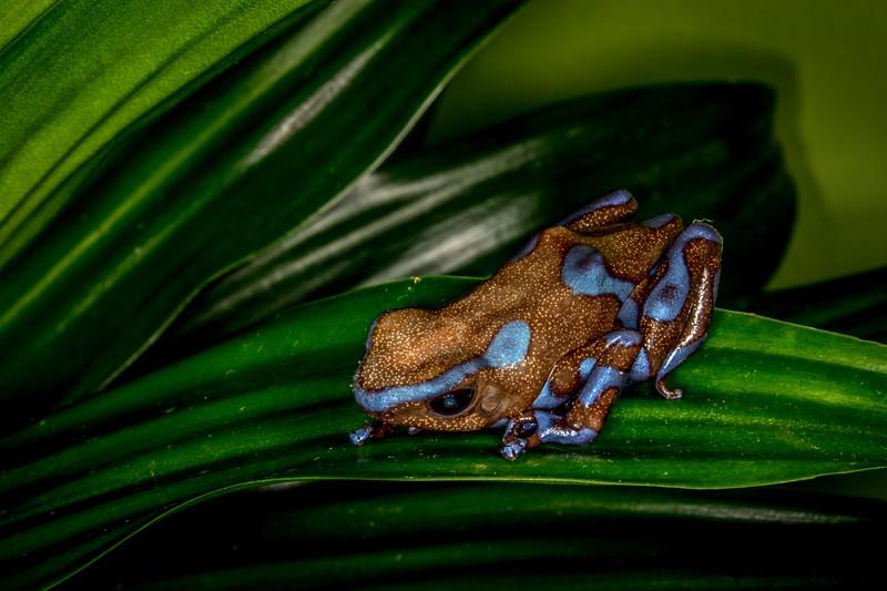 Highland bronze poison dart frog (Dendrobates auratus) captive