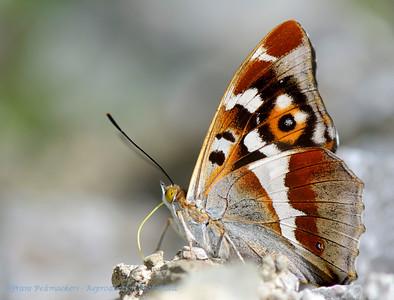Vlinders, Butterflies, Papillons, Faltern