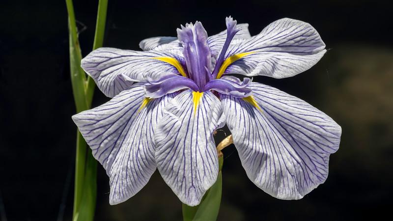 00110 Blue Iris 0021 16x9.jpg