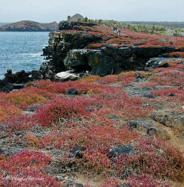 Fields of sesuvium on the lava cliffs of South Plaza Island