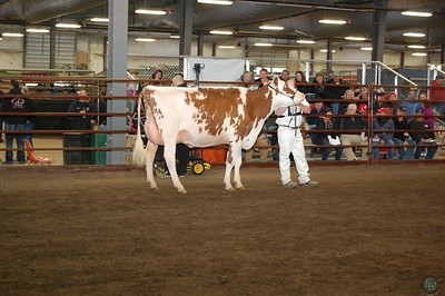Midwest Spring Red & White Cow Show 2017