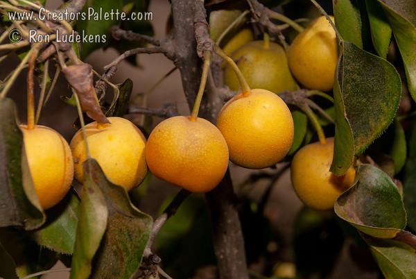 Twentieth Century Pear (Nijisseiki) - Pyrus pyrifolia sp.
