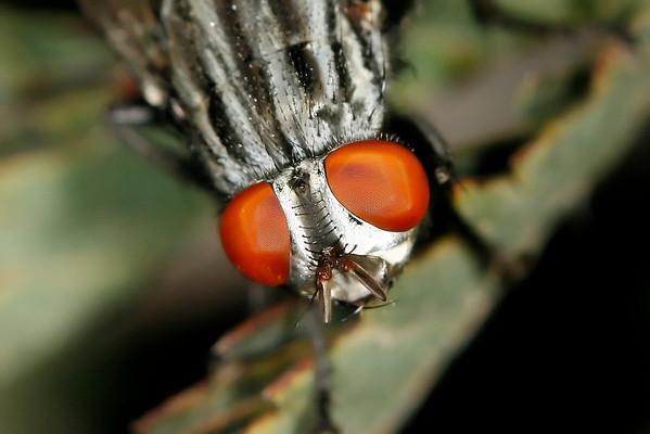 Flesh Fly, Maricopa, AZ