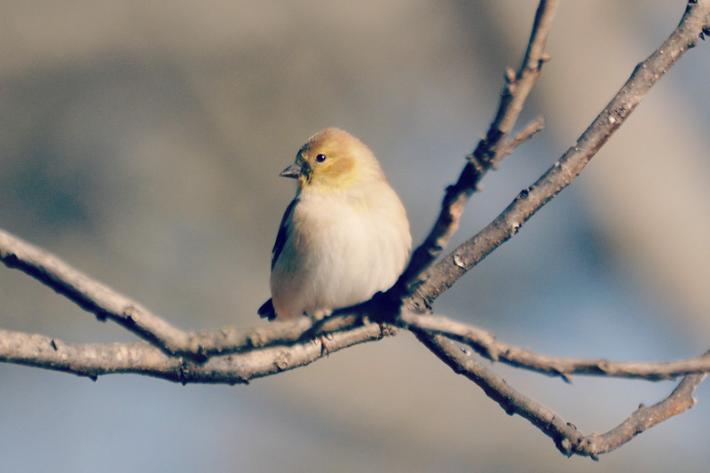 . . . and more and more American Goldfinches.