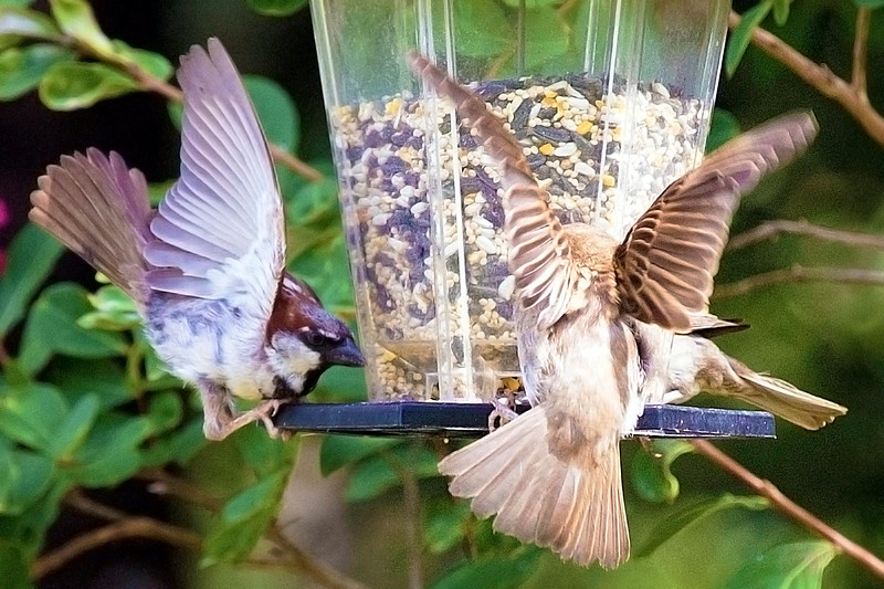 Two Sparrows landing at the same time