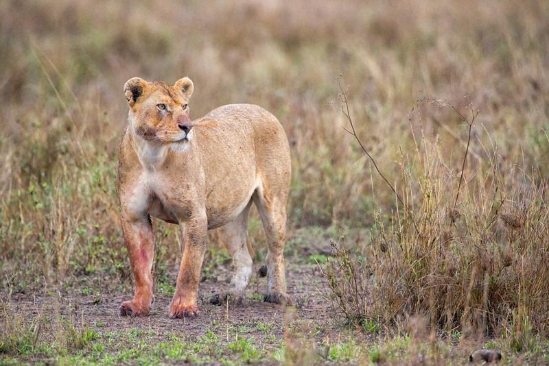 serengeti_2013_lion_legs_FH0T8883.jpg