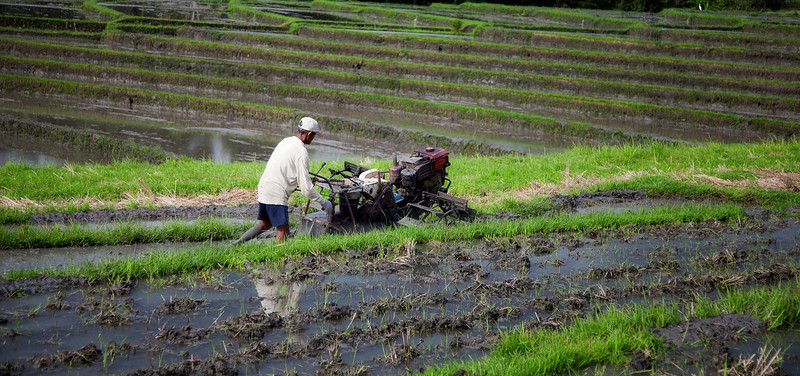 Preparing the fields for rice