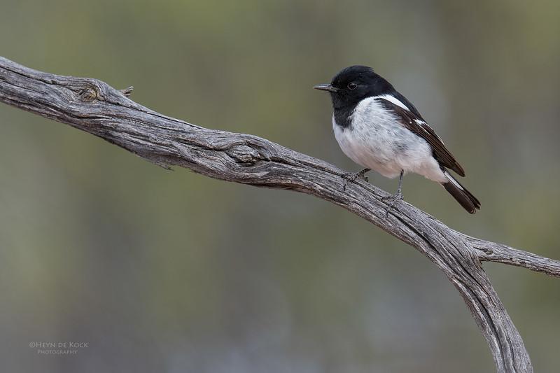 Hooded Robin, Bowra, Cunnamulla, QLD, Aus, Sept 2017-5.jpg