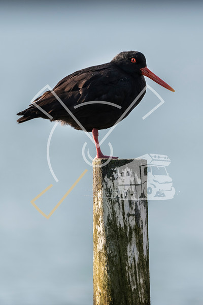 The variable oystercatcher (Haematopus unicolor) is a species of wader in the family Haematopodidae
