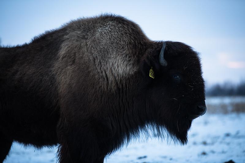 AHP171212_buffalo1513.jpg