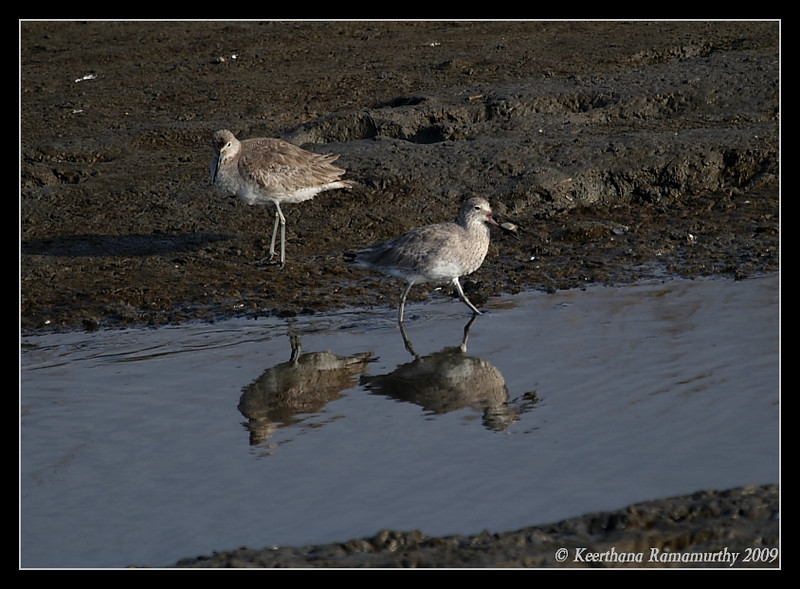 Willet, Tijuana RIver Estuary, San Diego County, California, March 2009