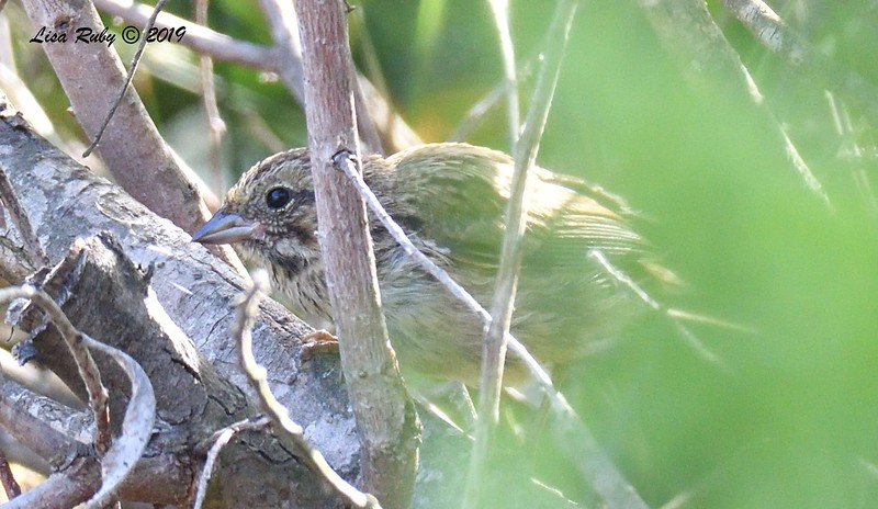 Juvenile Song Sparrow - 6/23/2019 - Sabre Springs by the creek