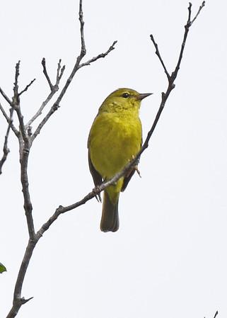 Warbler, Orange-crowned