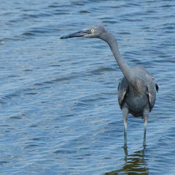 Heron_Aransas_Wildlife_Refuge.jpg