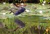 Green Heron Flying with Frog PSE IMG_4572