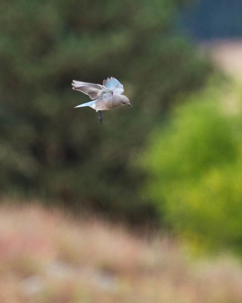 Bluebird hover
