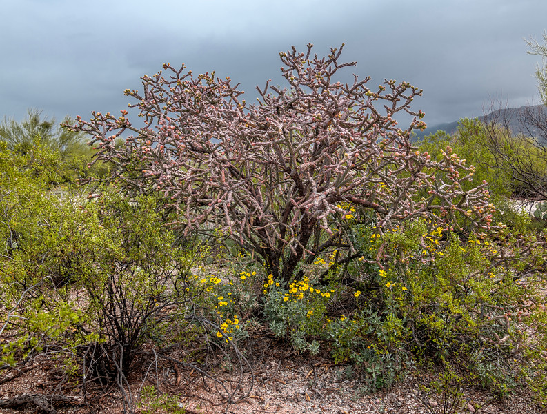 BR - Bike Ranch Site -  Staghorn  Cholla & Brittlebush #1