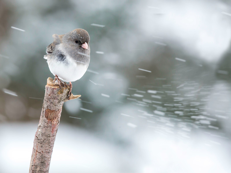 "Dark Eyed Junco ""In the Snow"""