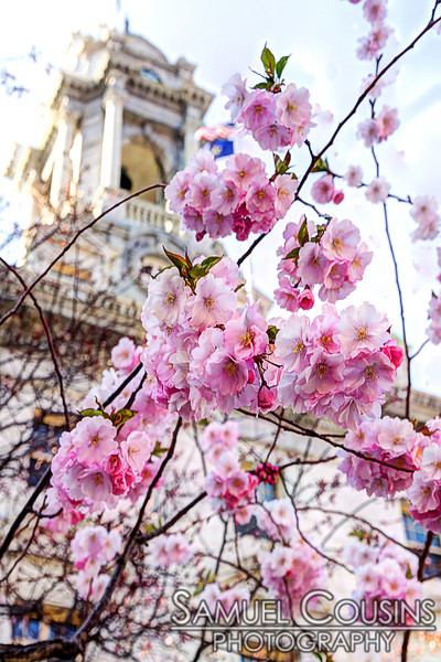 Cherry tree blossoming in front of Portland City Hall
