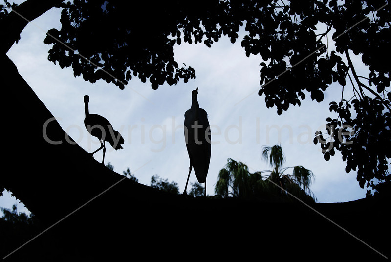 Cranes Silhouette.JPG