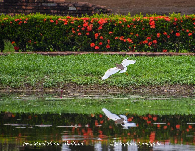 _DSC5143Java Pond Heron Ayuthia thailand.jpg