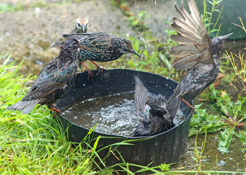 Starlings taking a bath Tullamore 2017
