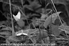 Cryptic Wood White - Leptidea juvernica (16)