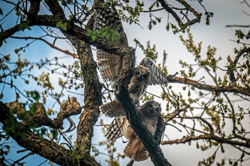 EVANSTRONG GREAT HORNED OWL FAMILY