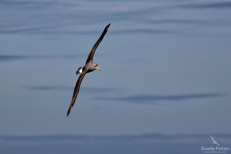 Possible Chatham Albatross