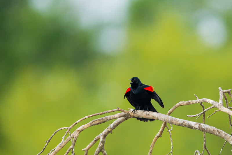Red-winged Blackbird - Weslaco, TX, USA