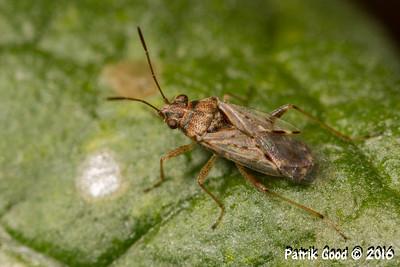 Red-collared Mirid Bug