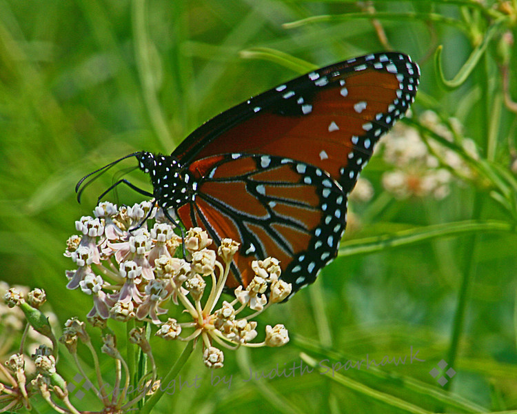 Queen Butterfly ~ This Queen was photographed in Round Valley, on the east side of the Sierras, in August of 2009.