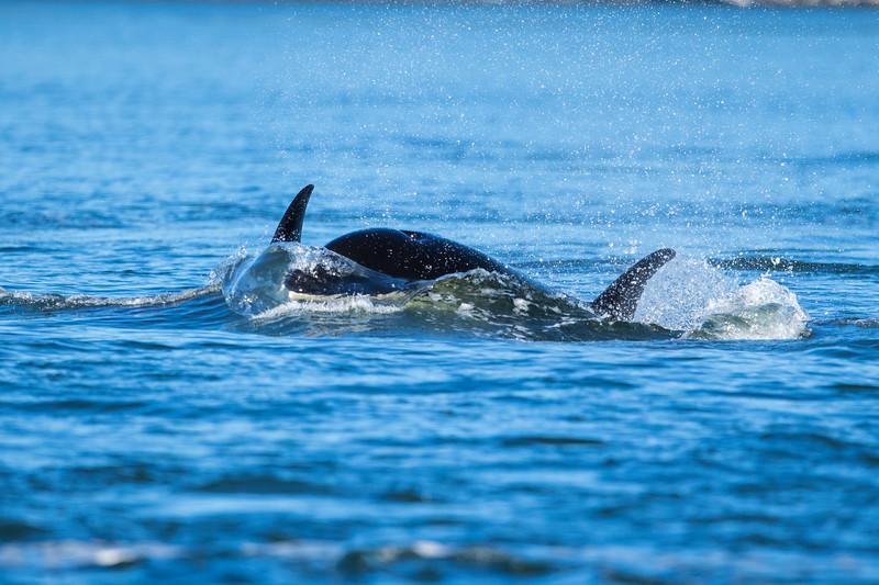 Orcas -  073115-423.jpg