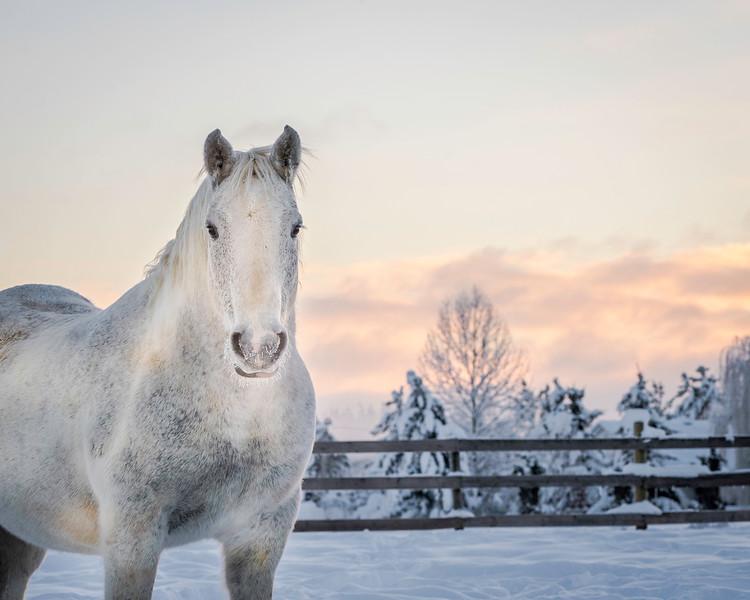 white draft horse in snow at sunrise.JPG